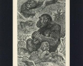 1902 Natural History Gorillas at Home Antique Illustration