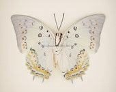 Framed Butterfly Jewelled Nawab Insect Taxidermy Display