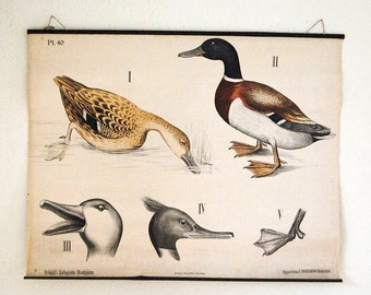 SALE vintage wall chart, Dutch educational poster with duck illustrations