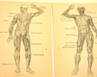 Human Anatomy Prints, Vintage Book Pages, Muscles Of The Human Body