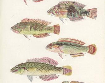 Bubblefin Wrasse, Jewelled Wrasse, Zig-Zag Wrasse, Vintage Print, 1951, Margaret Smith 55, Ichthyology, Natural History