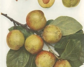 Vintage Plum Print, Bryanston Gage, Botanical 8 x 10 Photo Book Plate 3, 1949, Frameable Art, Fruit, Yellow, Ripe, English Plums