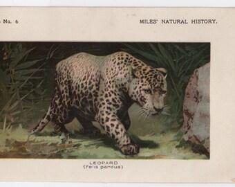 1895 leopard print original antique big cat animal lithograph print