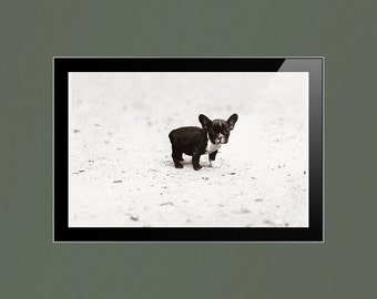 French Bulldog Vintage Photographic Reproduction