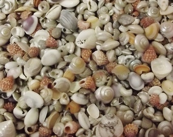 Small and Tiny Seashells 6 ounce bag