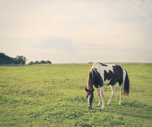 Paint Horse Photo Horse Photograph Horse Grazing in Pasture