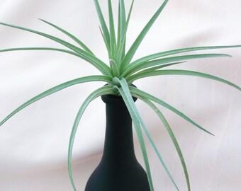 Black chalkboard vase with airplant arrangement