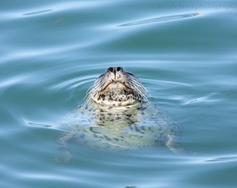 Harbor Seal Photograph, Fine Art Seal Photograph, Happy Harbor Seal, Harbor Seal Art Print