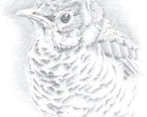 Original Art, Robin Drawing, Bird Art, Fledgling Art, Wildlife Art, Silverpoint Drawing, Framed Art, Metalpoint Drawing, Terraskin Drawing