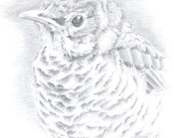 Original Art Robin Drawing Bird Art Fledgling Art Wildlife Art Silverpoint Drawing Framed Art Metalpoint Drawing Terraskin Drawing Robin Art