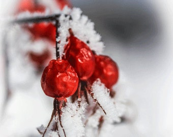 Snow Berries, Frozen Berries, Art, Photograph, Macro Photographs, Red, White, Snow, Kodak Endura Metallic Print