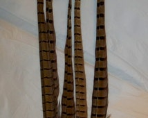 """Pheasant Feathers  Long 12-14"""" Ringneck Pheasant Feathers for DIY, Crafts, Hats, Fascinators"""