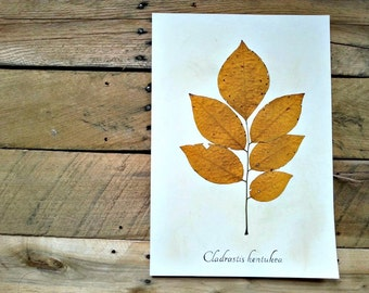 Pressed Yellowwood Tree Leaf in Fall Color - Herbarium Specimen - Real Botanical Art