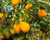Organic Meyers Lemons, Valentine's Day Gift, Lemon, Sustainable Living, Summer, Organic Fruit Basket,