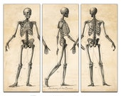 Anatomy of the Bones Triptych- Vintage Reproduction - 36x29 Canvas Giclee