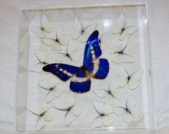 Real Gorgeous Rare Morpho Butterfly Among Snow White Butterflies