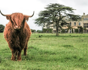 Highland Cattle 10 - Fine Art Photography - Wall Décor - Nature Photography