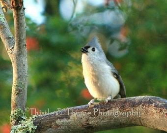 Bird Photographic Art Print - 5x7 Singing Bird photograph