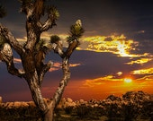 A Joshua Tree at Sunset in Joshua Tree National Park by the San Bernardino Mountains in the Mojave Desert California No.0279