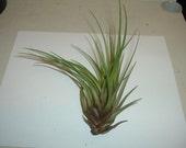Air Plant - Tricolor Var. Melanocrater (Tillandsia)  (Ea).