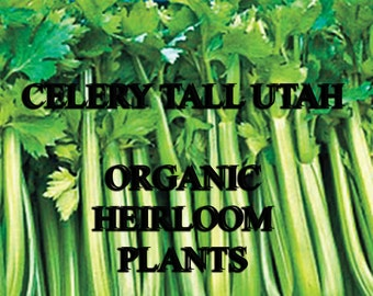 CELERY-TALL UTAH-Organic Heirloom Vegetable Seed