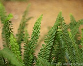 Fern photography green leaves photography Nature wall art home decor garden photography country art  Fine Art Photography Print