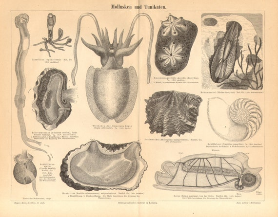 1890 Molluscs, Tunicata, Sea Squirt, Giant Clam, Sephia, Piddock, Pearl Oyster, Nautilus, Salp Antique Engraving Print