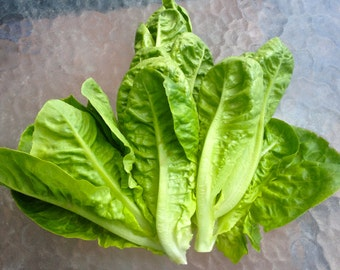 Romaine Lettuce Parris Island Standard American Heirloom Variety Excellent Flavor Crisp Juicy Texture Rare Seeds