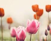 "Flower Wall Art - pink red burnt orange beige photography tulip photo print botanical artwork light brown nature photograph, ""Sweet Dreams"""