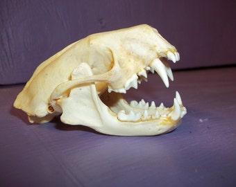 Skunk skull real animal taxidermy skeleton head weird man cave bone part