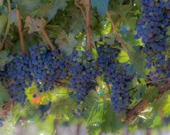 "Washington Photography, ""Grapes"", Travel Photography, Vineyard Photo, Wine Photo, Fine Art Home Decor, Customizable Print Sizes"