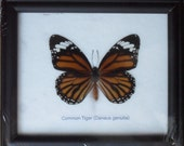 Real BUTTERFLY Collection Taxidermy in Frame / BTF01Q