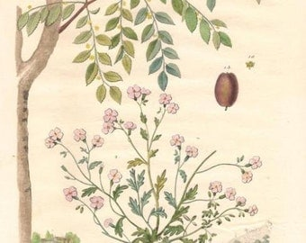 Antique Botanical Print/Engraving with original hand-coloring, by Guérin-Méneville, from Histoire Naturelle, 1834 - Jujubier