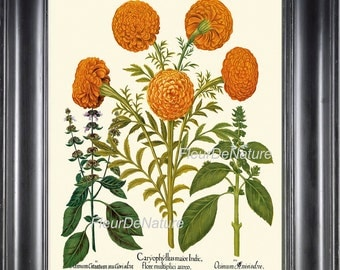 BOTANICAL PRINT Besler 8x10 Art 34 Beautiful Antique Marigold Flowers Spring Summer French Provencal Country Illustration Plate Botany Wall