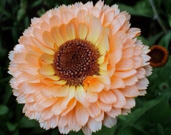 Calendula Pink Surprise, Medicinal Qualities Too, Attracts Butterflies, 20 Seeds
