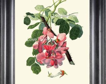 BOTANICAL PRINT Clarke  Botanical Art Print 33 Beautiful Pink Rose Acacia Antique Flower Garden  Spring Summer Home Wall Decor to Frame