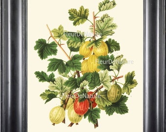 BOTANICAL FRUIT PRINT Wendel  Art 32 Beautiful Gooseberry Plant Berries Antique Berry Illustration Summer Country Garden Decor to Frame