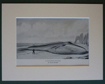 Vintage Marine Life Print of a Beached Blue Whale Alec Fraser-Brunner painting of a stranded Whale, Natural history decor - Old Nature Gift