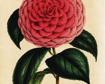 Original Antique Botanical  Hand Colored  Flower Print Camellia Flower Wilderi
