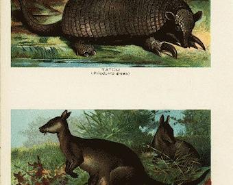 Original Antique Natural History Print From Miles Natural History 1895 - Tatou and kangaroos