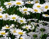 75 - Shasta Daisy Seeds - Heirloom Wildflower Seeds, Heirloom Flower Seeds, Non-GMO Flower Seeds, Heirloom Shasta Daisies, Perennial Flowers