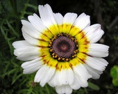 75 - Painted Daisy Seed - Farm Mix - Heirloom Daisy Seed, Non-GMO Daisy Seed, Painted Daisies, Heirloom Wildflowers, Non-gmo Daisies, Annual