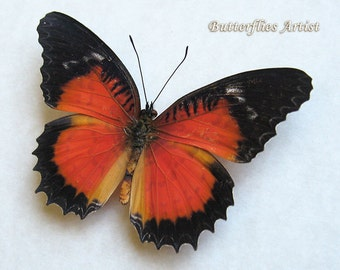 Red Lacewing Cethosia Luzonica Real Framed Butterflies In Shadowbox