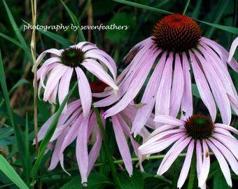 8x10 Pink Cone Flowers Outdoor Nature Photography Fine Art Photo Home Decor
