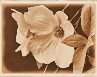 Large Wall Art • Sepia Photography Featuring Wild Dogwood in Bloom •  8x10 16x20 or 20x30 Fine Art Photography Print
