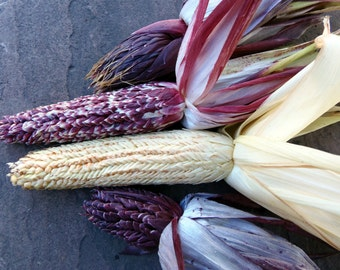 Pod Corn (Zea mays tunicata)  - seed for a very dramatic and decorative corn