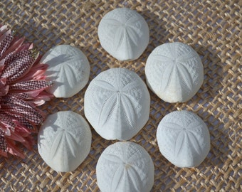 """Puffer Sea Biscuits, Puffer Sand Dollars, Sea Gophers (1.5 - 2.25"""") 