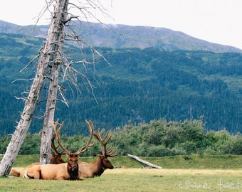 Elk in the Mountains of Alaska Photograph