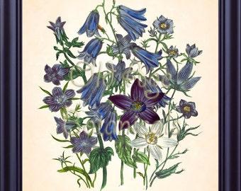 Botanical 8x10 Art Print Jane LOUDON Blue CAMPANULA Plate 30 Antique Flowers Vintage Room Wall Art Decor Summer Bouquet Illustration BF1136