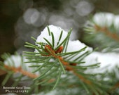 A Country Winter, RGTPhotos, Pine Tree, baby pine cone, Green White, Wall Art Photography print, Nature woods woodland, holiday decor macro
